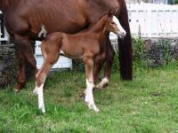 1ère naissance au Haras de la Buissonnière  à Barenton dans la Manche - Normandie