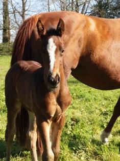 Élevage de chevaux à Barenton